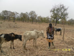 Bassanwara cattle