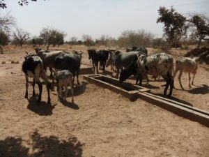water for the people - cattle
