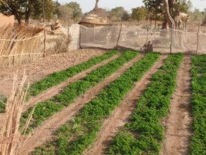 Nedego crops 2